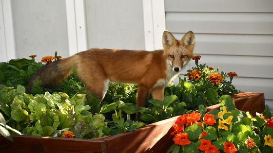 fox in garden bed