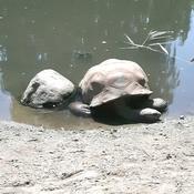 Une tortue au repos.