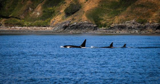 Orca Pod Whales