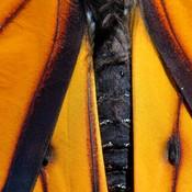 Papillon monarque mâle