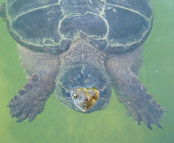Friendly Snapping Turtle