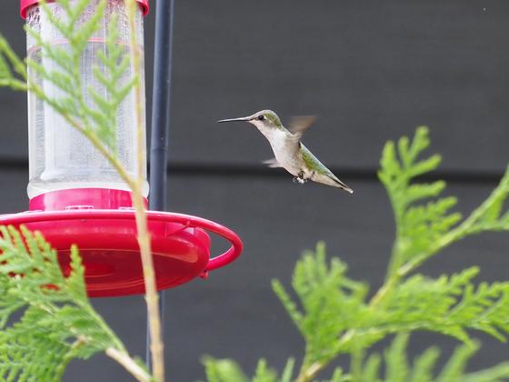 Hummingbird Backyard