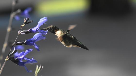 "hummingbird ""love story"""