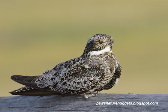 Portrait of a Common Nighthawk