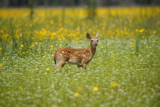 Fawn In The Field Of Yellow Flowers