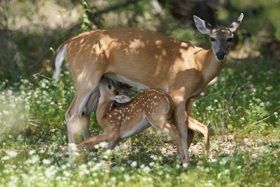 Deer and Fawn A Tender Moment
