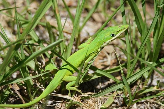 Seldom Seen Green Anole.