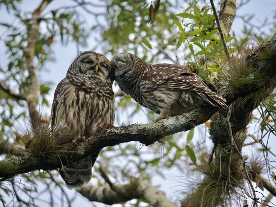 Owl Love In Myakka