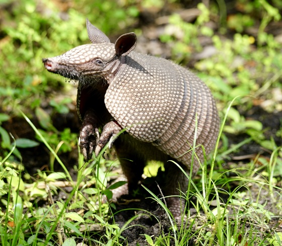 Cutest Armadillo