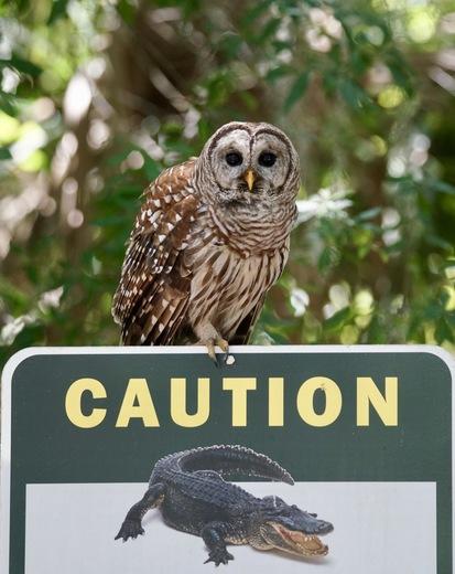 Barred Owl Alligator Warning