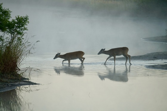 DEER CROSSING THE RIVER IN THE FOG