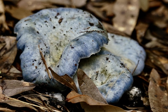 Blue Mushrooms In Myakka
