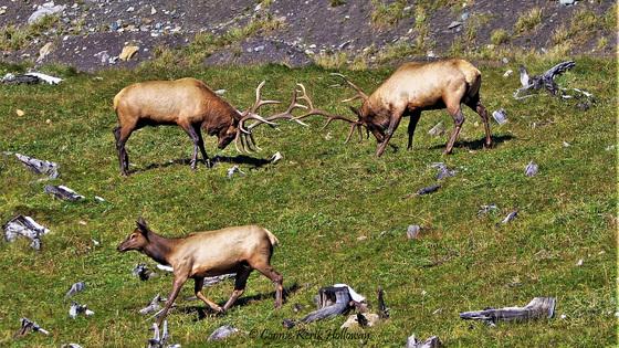 Elk Fighting