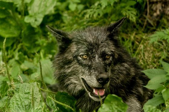 Mama Timber Wolf