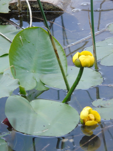 Water Lily with Shed of Damsel Fly