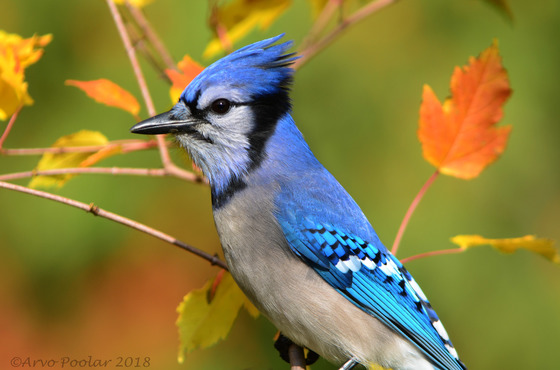 Blue Jay in the Fall