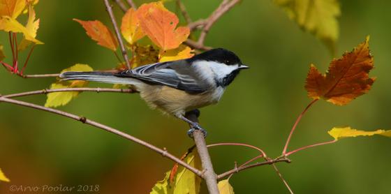 Chickadee in Autumn