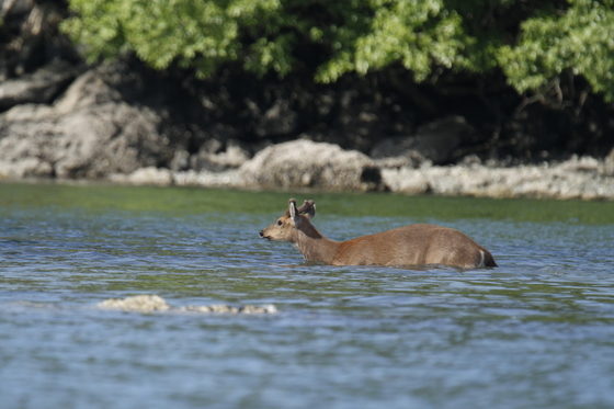 Pelagic Deer