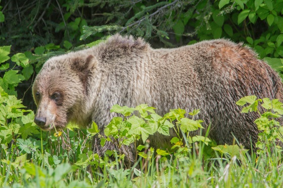 Grizzly Grazing