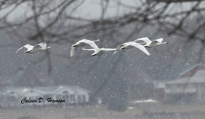 A rare sight here... Trumpeter Swans Nairne island, South Stormont, ON