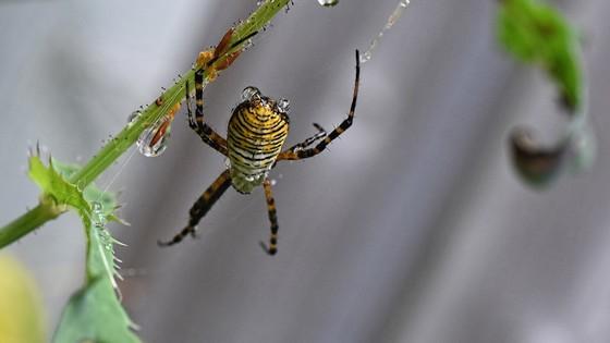 Banded Garden Spider