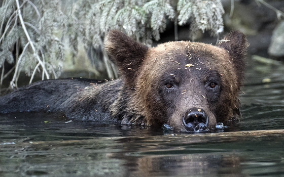 Grizzly Moment