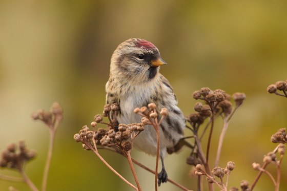 7a. Common redpoll