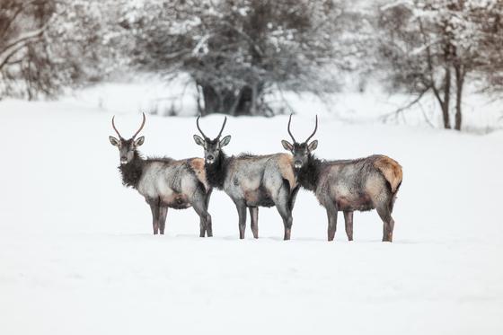 Youn Bull Elk