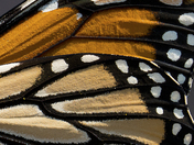 5c. Monarch butterfly wing