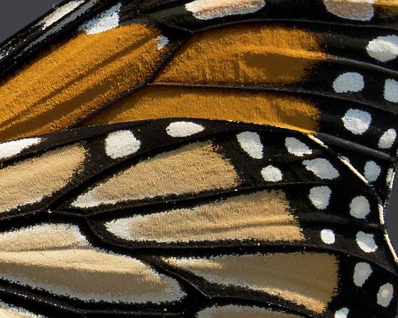 5c. Monarch butterfly wing