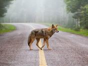 1a. Eastern coyote