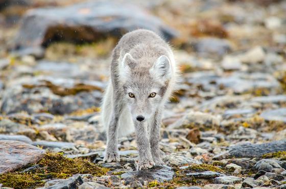 The Arctic Scavenger