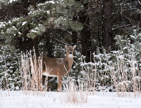 Two Fawns Hiding