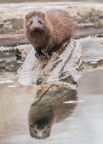 Mink and his reflection Humber Bay Park East, Humber Bay Park Road West, Toronto, ON