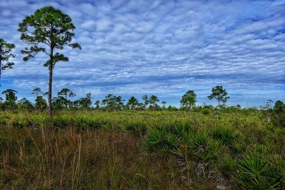 Florida Pine Flatwood Vista