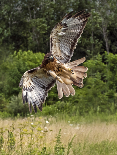 "Flight Action  of ""THE HAWK"""