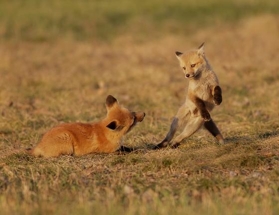 Red Fox Kits playing around