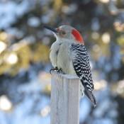 Pic à ventre roux...Red-bellied Woodpecker