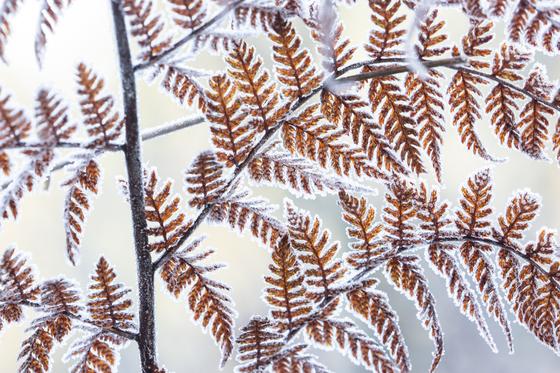 3b. Frost on fern