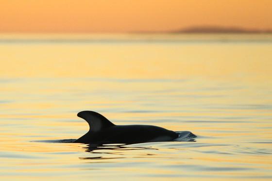 Cetacean Sunsets