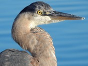 7c. Blue heron by water
