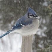 Geai bleu dans une tempête de neige