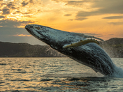 2c. Humpback whale breach at sunset