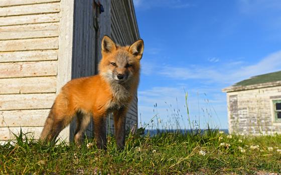 6b. Curious fox