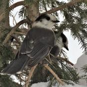 Mésangeai du Canada.~~~~~(Canada Jay)
