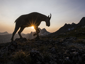 2b. Mountain goat at sunset
