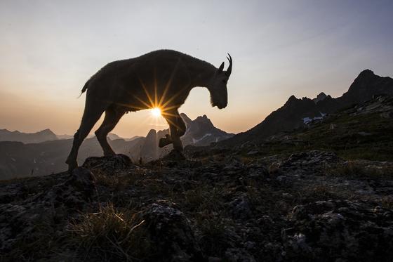 2b. Mountain goat at sunset