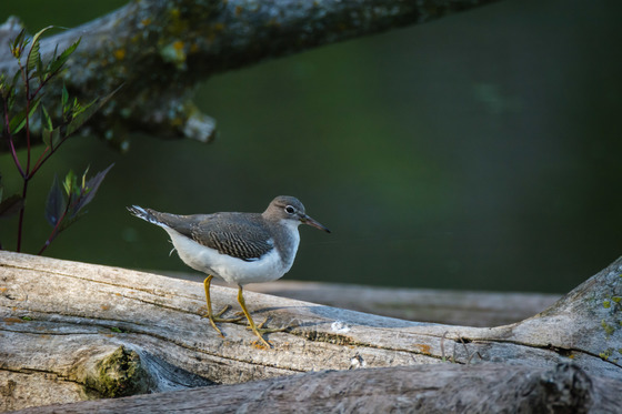 Sandpiper away from the beach