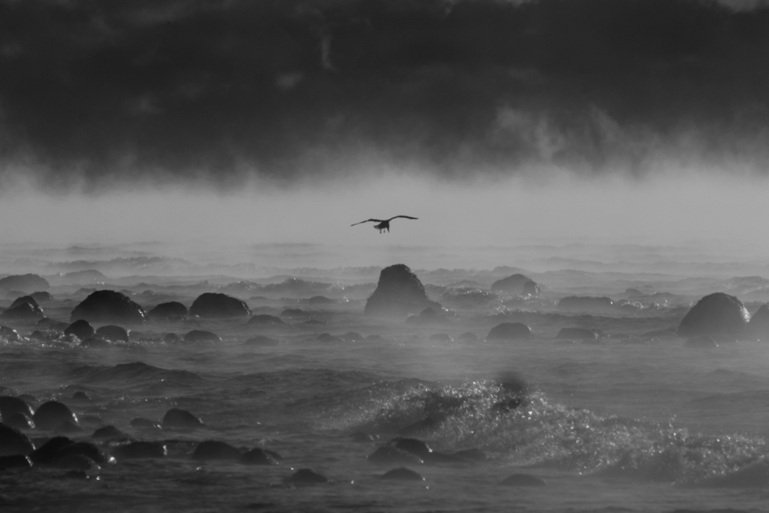 A gull through the sea smoke