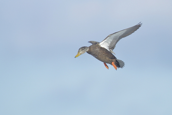 Am Black Duck comes in for a landing